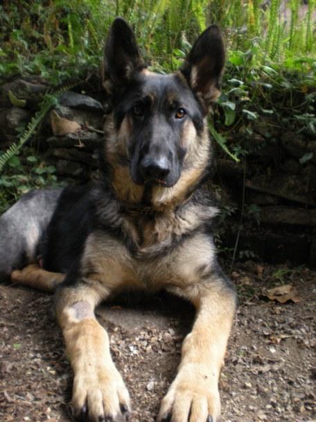 Wyatt three legged shepherd adoption